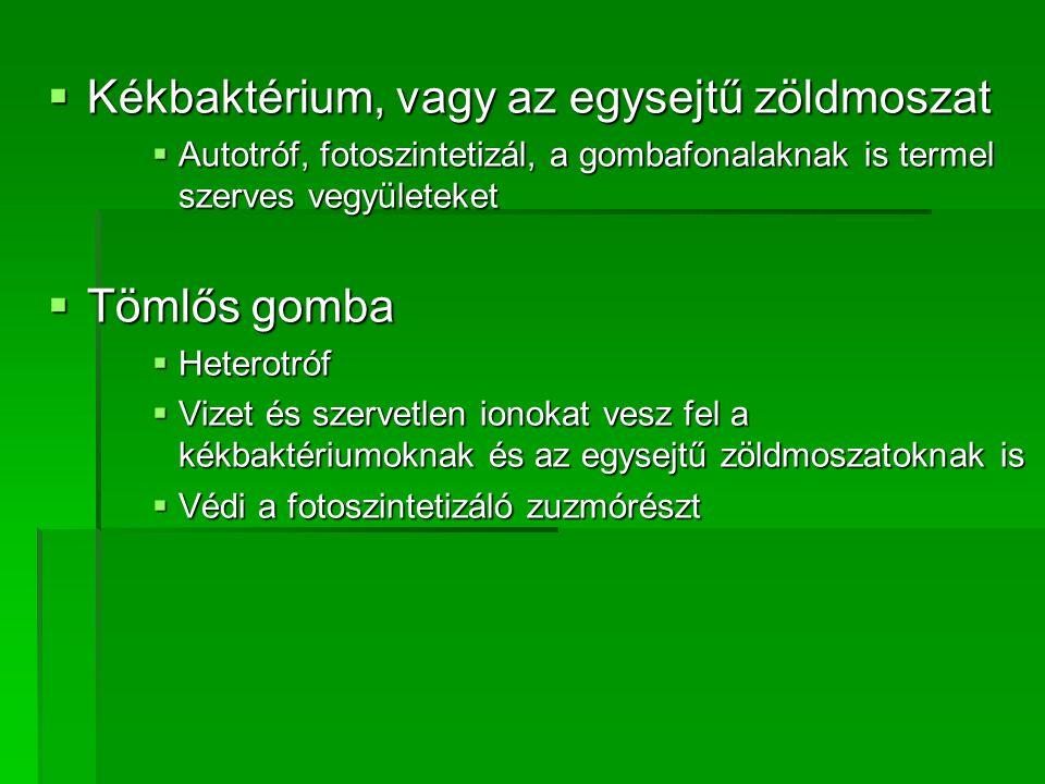  Kékbaktérium, vagy az egysejtű zöldmoszat  Autotróf, fotoszintetizál, a gombafonalaknak is termel szerves vegyületeket  Tömlős gomba  Heterotróf