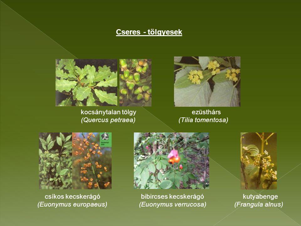 kocsánytalan tölgy ezüsthárs (Quercus petraea) (Tilia tomentosa) csíkos kecskerágó bibircses kecskerágó kutyabenge (Euonymus europaeus) (Euonymus verrucosa) (Frangula alnus) Cseres - tölgyesek