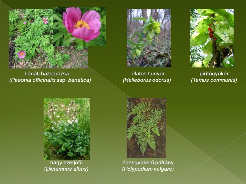 bánáti bazsarózsa illatos hunyor pirítógyökér (Paeonia officinalis ssp.