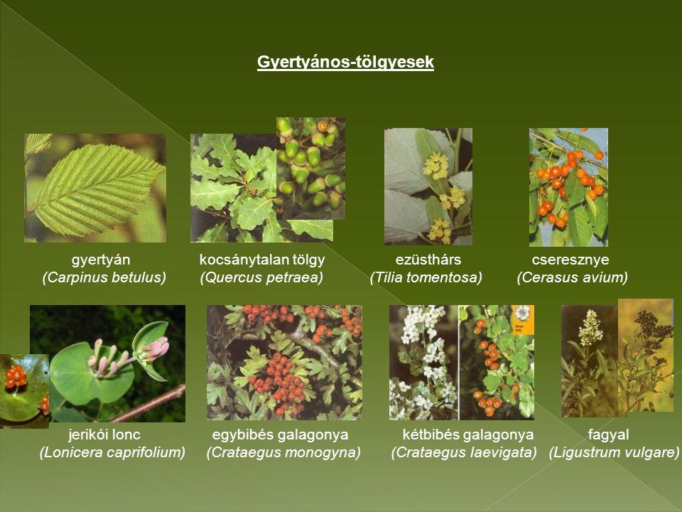 gyertyán kocsánytalan tölgy ezüsthárs cseresznye (Carpinus betulus) (Quercus petraea) (Tilia tomentosa) (Cerasus avium) jerikói lonc egybibés galagonya kétbibés galagonya fagyal (Lonicera caprifolium) (Crataegus monogyna) (Crataegus laevigata) (Ligustrum vulgare) Gyertyános-tölgyesek