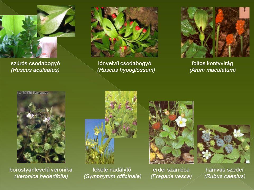 szúrós csodabogyó lónyelvű csodabogyó foltos kontyvirág (Ruscus aculeatus) (Ruscus hypoglossum) (Arum maculatum) borostyánlevelű veronika fekete nadálytő erdei szamóca hamvas szeder (Veronica hederifolia) (Symphytum officinale) (Fragaria vesca) (Rubus caesius)