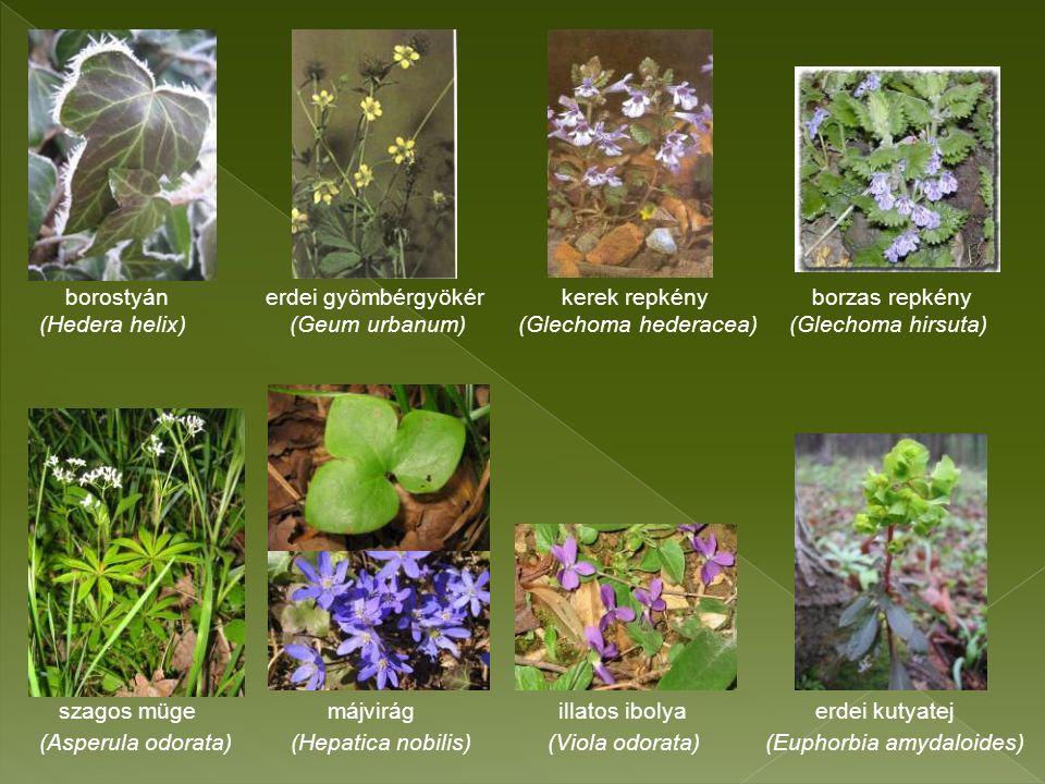 borostyán erdei gyömbérgyökér kerek repkény borzas repkény (Hedera helix) (Geum urbanum) (Glechoma hederacea) (Glechoma hirsuta) szagos müge májvirág illatos ibolya erdei kutyatej (Asperula odorata) (Hepatica nobilis) (Viola odorata) (Euphorbia amydaloides)