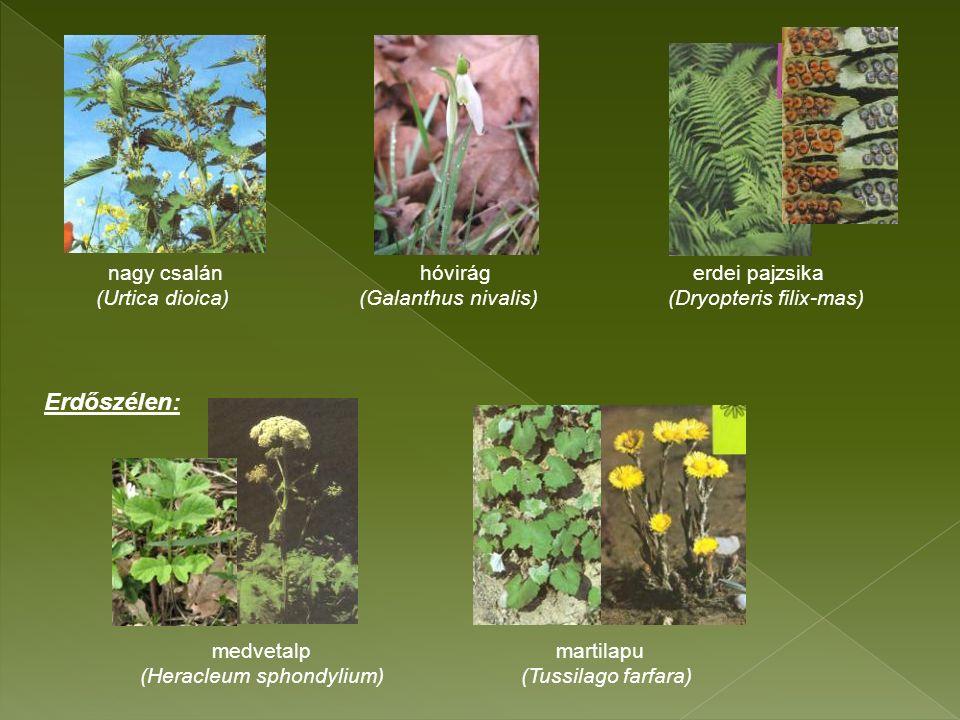 nagy csalán hóvirág erdei pajzsika (Urtica dioica) (Galanthus nivalis) (Dryopteris filix-mas) medvetalp martilapu (Heracleum sphondylium) (Tussilago farfara) Erdőszélen: