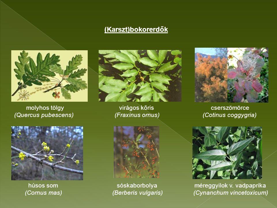 molyhos tölgy virágos kőris cserszömörce (Quercus pubescens) (Fraxinus ornus) (Cotinus coggygria) húsos som sóskaborbolya méreggyilok v.