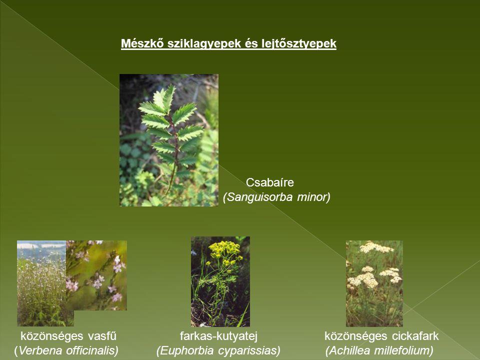 Csabaíre (Sanguisorba minor) közönséges vasfű farkas-kutyatej közönséges cickafark (Verbena officinalis) (Euphorbia cyparissias) (Achillea millefolium) Mészkő sziklagyepek és lejtősztyepek