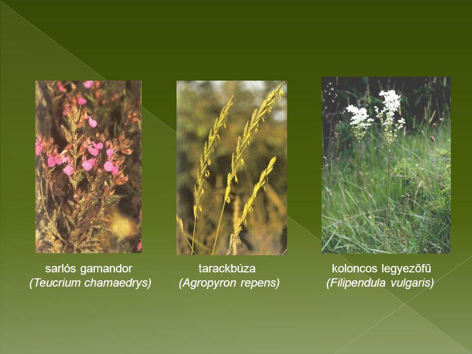 sarlós gamandor tarackbúza koloncos legyezőfű (Teucrium chamaedrys) (Agropyron repens) (Filipendula vulgaris)