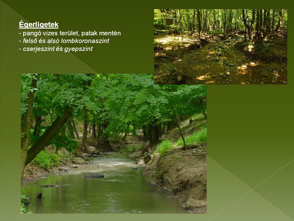 Égerligetek - pangó vizes terület, patak mentén - felső és alsó lombkoronaszint - cserjeszint és gyepszint