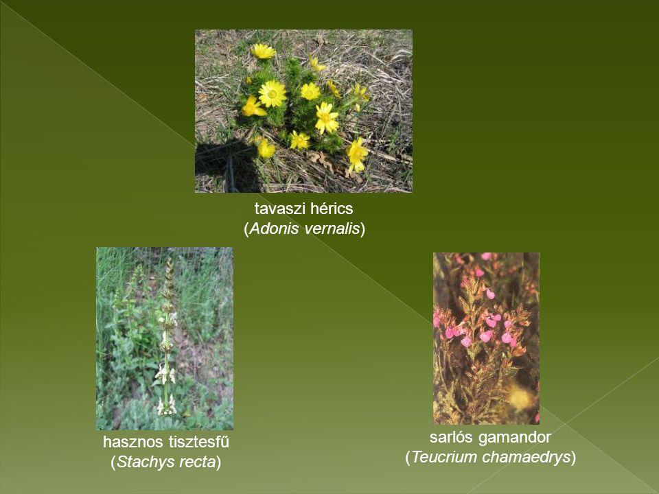 tavaszi hérics (Adonis vernalis) hasznos tisztesfű (Stachys recta) sarlós gamandor (Teucrium chamaedrys)