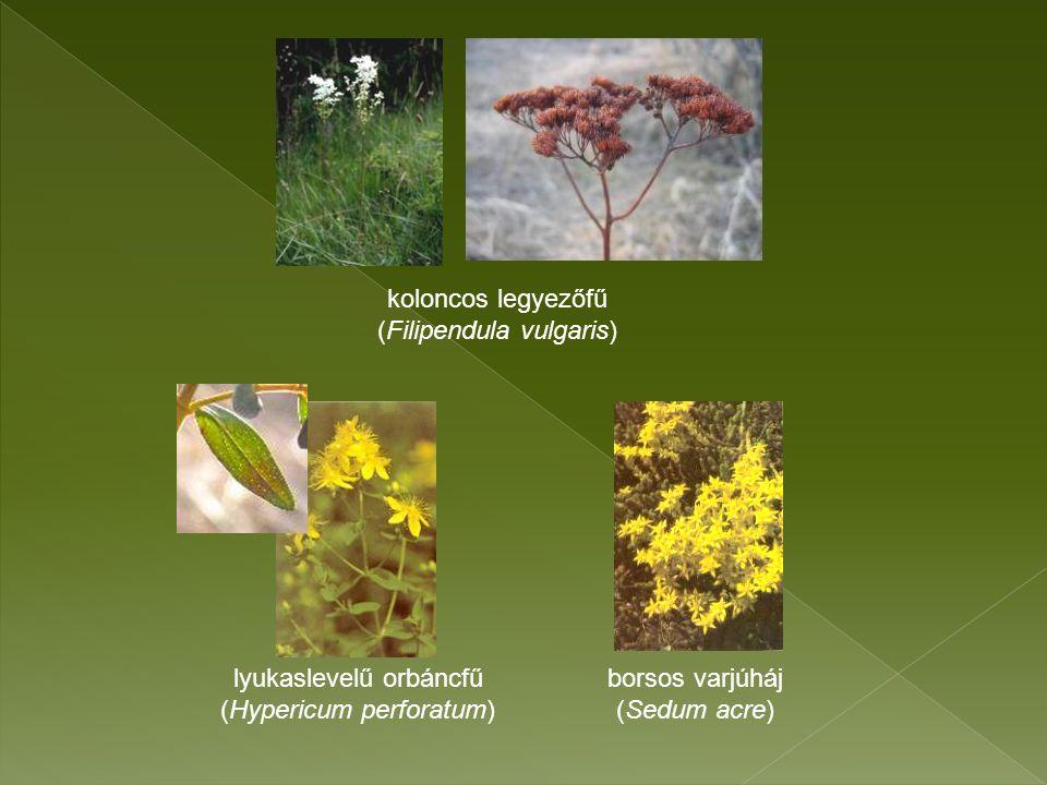 koloncos legyezőfű (Filipendula vulgaris) lyukaslevelű orbáncfű (Hypericum perforatum) borsos varjúháj (Sedum acre)