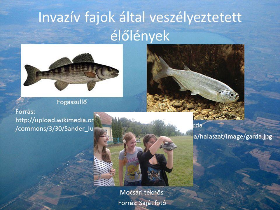 Invazív fajok által veszélyeztetett élőlények Mocsári teknős Forrás: Saját fotó Garda Forrás: http://m.blog.hu/ha/halaszat/image/garda.jpg Fogassüllő Forrás: http://upload.wikimedia.org/wikipedia /commons/3/30/Sander_lucioperca.jpg