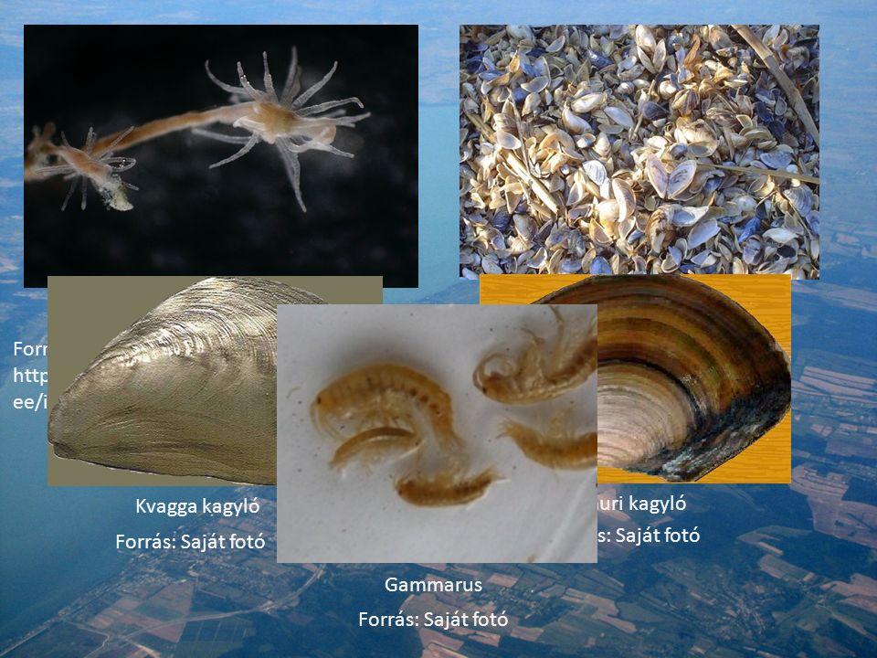 Cordylophora caspia Forrás: http://www.coastsandreefs.net/micro/waddenz ee/img/har1012_1/Cordylophora_caspia_1.JPG Vándorkagylók Forrás: Saját fotó Kvagga kagyló Forrás: Saját fotó Amuri kagyló Forrás: Saját fotó Gammarus Forrás: Saját fotó