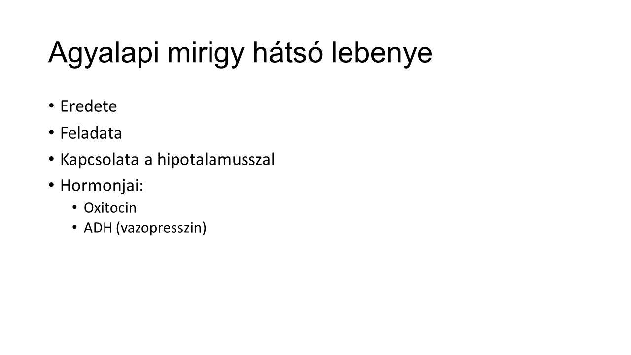 Agyalapi mirigy hátsó lebenye Eredete Feladata Kapcsolata a hipotalamusszal Hormonjai: Oxitocin ADH (vazopresszin)