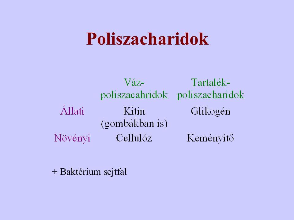 Poliszacharidok + Baktérium sejtfal