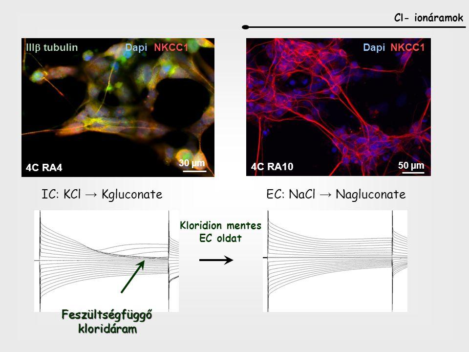 Cl- ionáramok IC: KCl → KgluconateEC: NaCl → Nagluconate Feszültségfüggőkloridáram Kloridion mentes EC oldat 4C RA10 50 µm DapiNKCC1 4C RA4 III  tubulin DapiNKCC1 30 µm