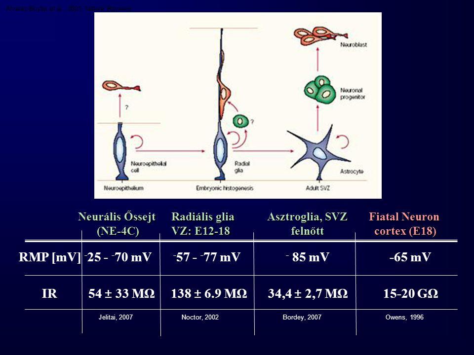 Söhl, Nature Reviews 2005 6 db Connexin → connexon (hemichannel) 1 kDa-ig átjárható Permeabilitás, feszültségfüggés: cx összetétel Posttranslációs módosítások, foszforilációs folyamatok Pannexinek Px1, Px2 Időben-térben változó cx.