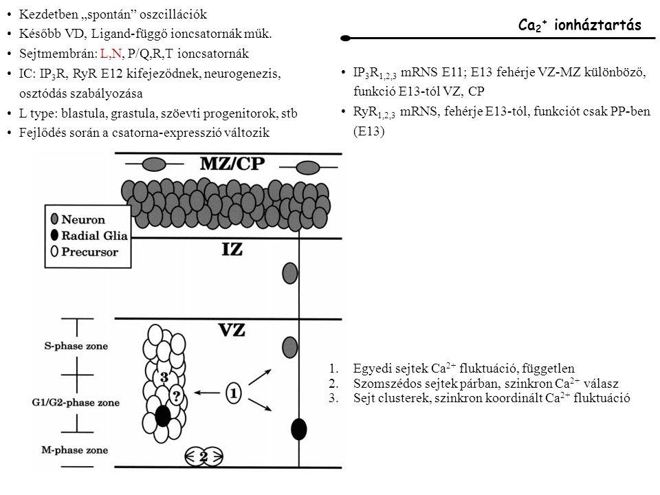 """Ca 2 + ionháztartás Kezdetben """"spontán oszcillációk Később VD, Ligand-függő ioncsatornák műk."""