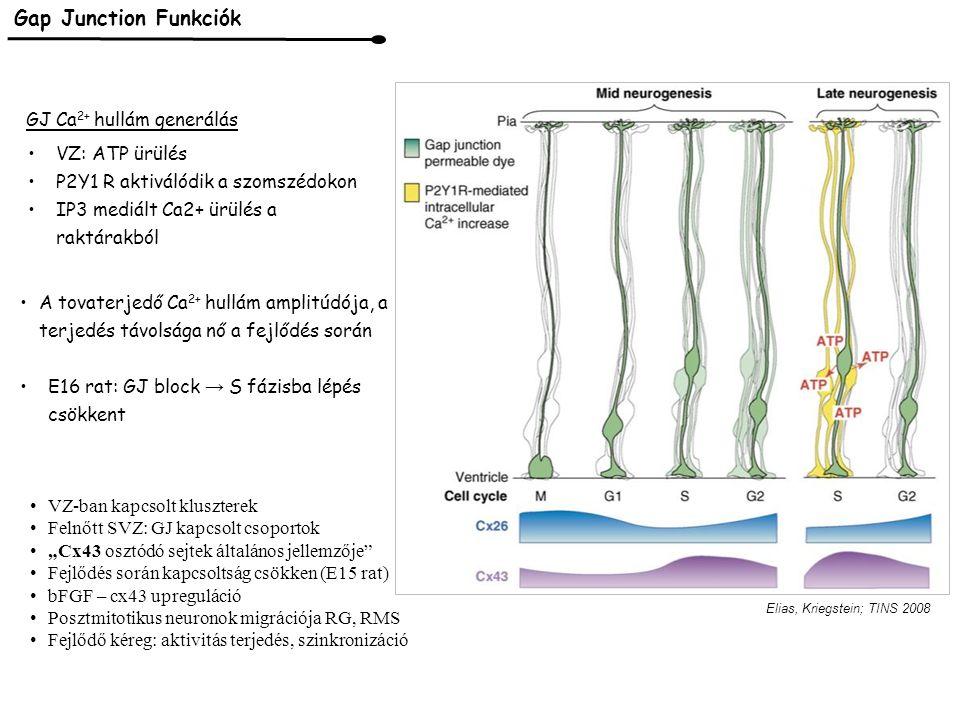 Bahrey, Moody, 2003 VD Na + csatornák Na áram előbb mint Tubulin Főleg CP sejtjei, migráló prekurzorok Embrionálisan SCN3/ Nav1.3 TTX sensitive Nem kapcsolt Amplitúdó sokszorosan kisebb Na áram lefutása hosszabb E14 rat VZ A'' B''