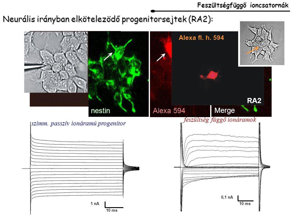 Neurális irányban elkötelezödő progenitorsejtek (RA2): LY RA2 nestin Alexa 594 Merge 10 ms 1 nA szimm.
