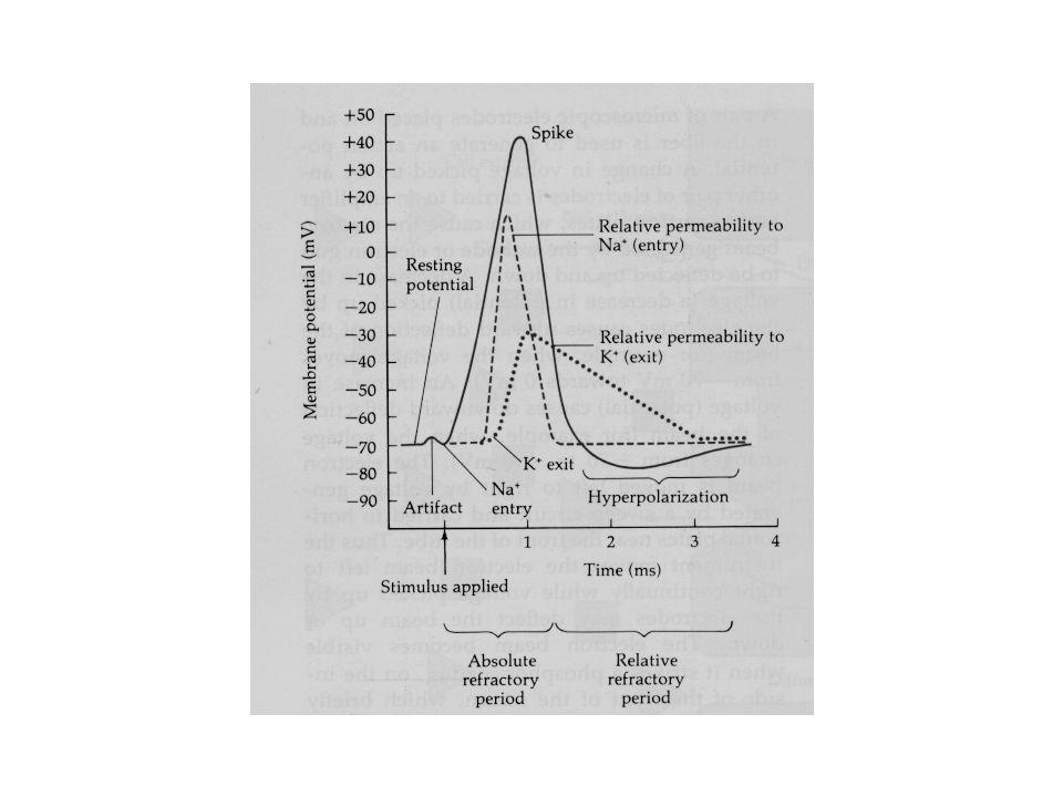 Outward káliumáram kontroll I (pA) Vm (mV) 10 ms 0,4 nA Nátriumáram (I Na ) Inward rectifier káliumáram (K IR ) I (pA) Vm (mV) kontroll Ba + 10 ms 0.4 nA Feszültségfüggő ioncsatornák 1 ms 0.1 nA ▲ Na+ RA2 Na+ TTX Na+ RA6 pA mV