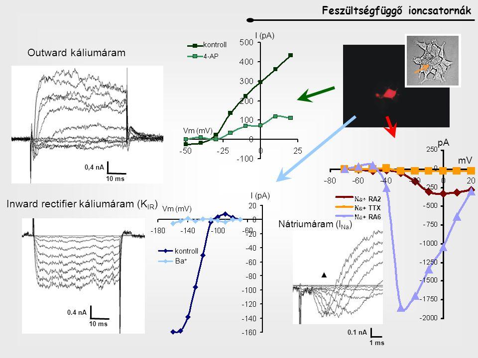 Ca 2 + homeosztázis mES sejteken, VZ sejtekben, stb: a differenciálódás minden foyamatában szerepe van a Ca fluktuációnak IC Ca raktárak receptorai előbb funkcionálisak, mint VD Ca ioncsatornák IP 3 R-ok előbb működőképesek, mint RyR-ok ER Ca2+-ATP-áz nagyon korán funkcióképes Plazmamembrán Ca 2 + pumpák, Na + / Ca 2 + exchanger-ek hamar működőképesek és fenntartják az IC alacsony (~ 10 -8 M) Ca szintet