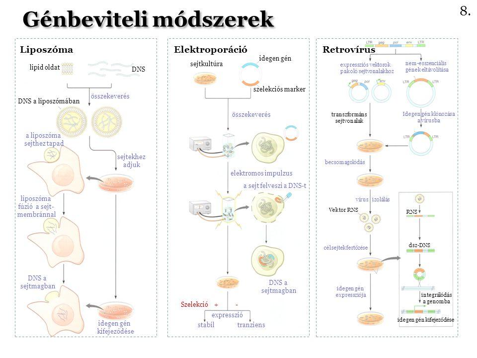 Liposzóma Elektroporáció Retrovírus Génbeviteli módszerek lipid oldat DNS összekeverés DNS a liposzómában sejtekhez adjuk a liposzóma sejthez tapad liposzóma fúzió a sejt- membránnal DNS a sejtmagban idegen gén kifejeződése sejtkultúra idegen gén szelekciós marker összekeverés elektromos impulzus a sejt felveszi a DNS-t DNS a sejtmagban stabil tranziens expresszió Szelekció + - expressziós vektorok pakoló sejtvonalakhoz nem-esszenciális gének eltávolítása transzformáns sejtvonalak Idegen gén klónozása a vírusba vírus izolálás becsomagolódás Vektor RNS célsejtek fertőzése idegen gén expressziója RNS dsz-DNS integrálódás a genomba idegen gén kifejeződése