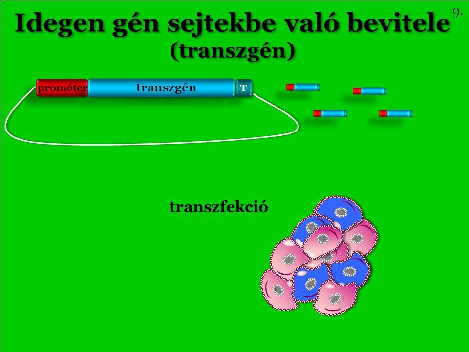 Idegen gén sejtekbe való bevitele (transzgén) Idegen gén sejtekbe való bevitele (transzgén) transzfekció 9.