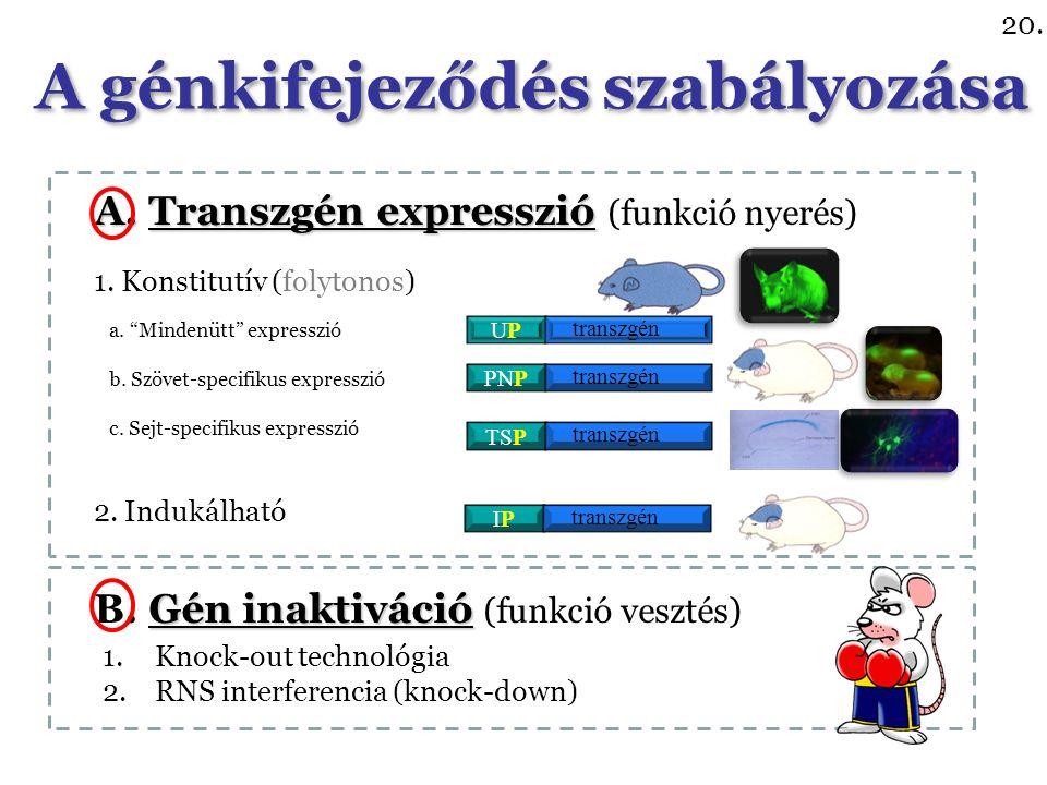 A. Transzgén expresszió A. Transzgén expresszió (funkció nyerés) Gén inaktiváció B.