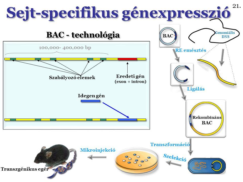 Eredeti gén (exon + intron) BAC - technológia Szabályozó elemek Idegen gén 100,000- 400,000 bp BAC Genomiális DNS RE emésztés Rekombináns BAC Transzformáció Ligálás Szelekció Mikroinjekció Transzgénikus egér Sejt-specifikus génexpresszió 21.