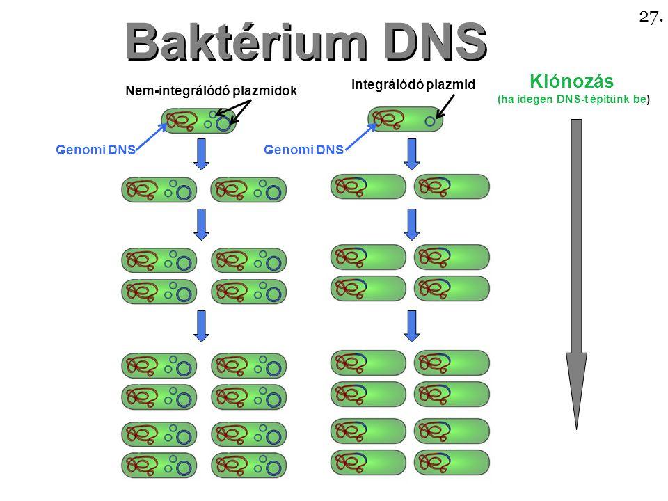 Baktérium DNS Nem-integrálódó plazmidok Integrálódó plazmid Genomi DNS Klónozás (ha idegen DNS-t építünk be) 27.