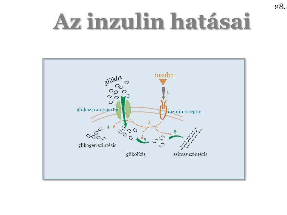 Az inzulin hatásai 28.