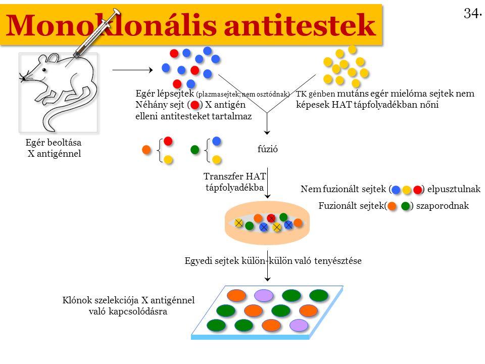 Monoklonális antitestek Egér lépsejtek (plazmasejtek; nem osztódnak) Néhány sejt ( ) X antigén elleni antitesteket tartalmaz fúzió Transzfer HAT tápfolyadékba Egyedi sejtek külön-külön való tenyésztése Klónok szelekciója X antigénnel való kapcsolódásra TK génben mutáns egér mielóma sejtek nem képesek HAT tápfolyadékban nőni Egér beoltása X antigénnel Nem fuzionált sejtek ( ) elpusztulnak Fuzionált sejtek( ) szaporodnak 34.