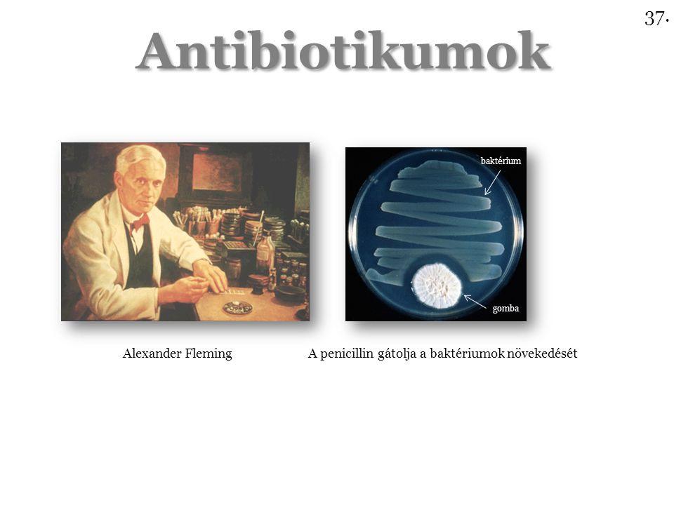Antibiotikumok Alexander Fleming A penicillin gátolja a baktériumok növekedését baktérium gomba 37.