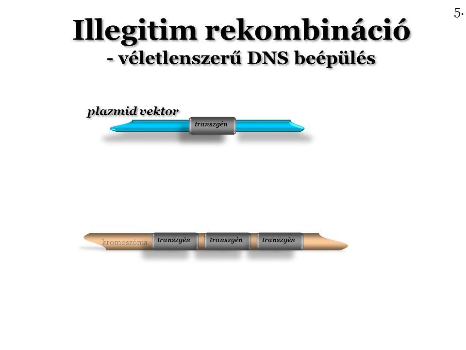 plazmid vektor transzgén Illegitim rekombináció - véletlenszerű DNS beépülés Illegitim rekombináció - véletlenszerű DNS beépülés transzgén 5.