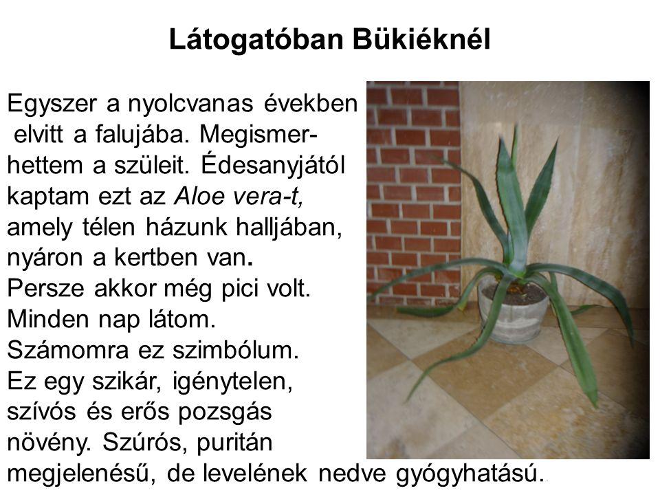 Látogatóban Bükiéknél Egyszer a nyolcvanas években elvitt a falujába. Megismer- hettem a szüleit. Édesanyjától kaptam ezt az Aloe vera-t, amely télen