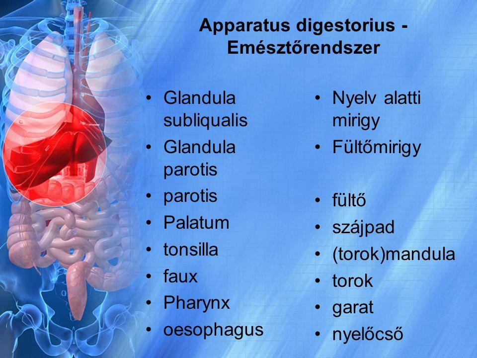Apparatus digestorius - Emésztőrendszer Glandula subliqualis Glandula parotis parotis Palatum tonsilla faux Pharynx oesophagus Nyelv alatti mirigy Fül