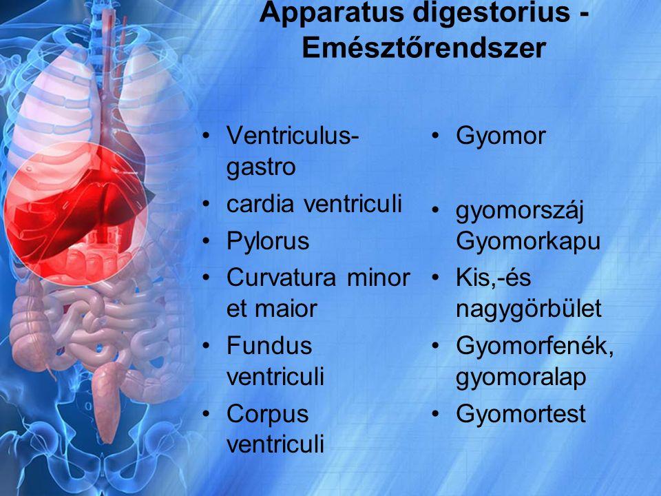 Apparatus digestorius - Emésztőrendszer Ventriculus- gastro cardia ventriculi Pylorus Curvatura minor et maior Fundus ventriculi Corpus ventriculi Gyo