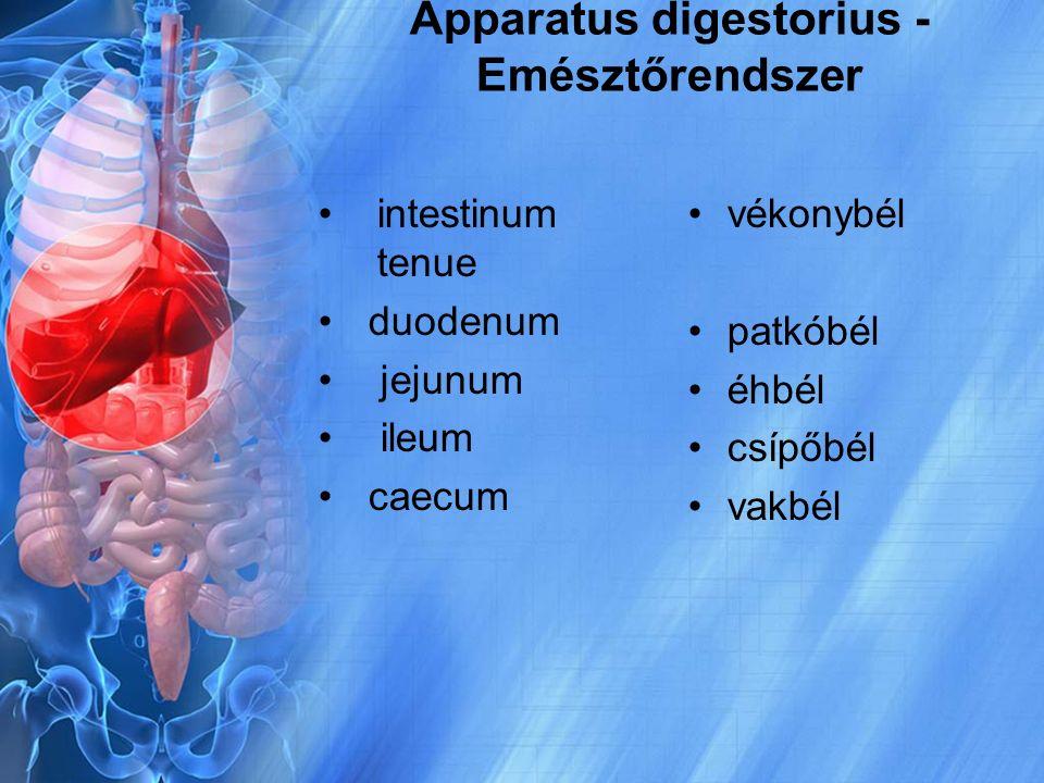 Apparatus digestorius - Emésztőrendszer intestinum tenue duodenum jejunum ileum caecum vékonybél patkóbél éhbél csípőbél vakbél