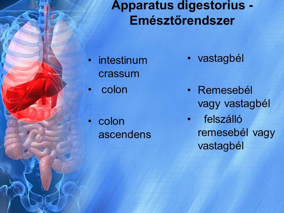 Apparatus digestorius - Emésztőrendszer intestinum crassum colon colon ascendens vastagbél Remesebél vagy vastagbél felszálló remesebél vagy vastagbél