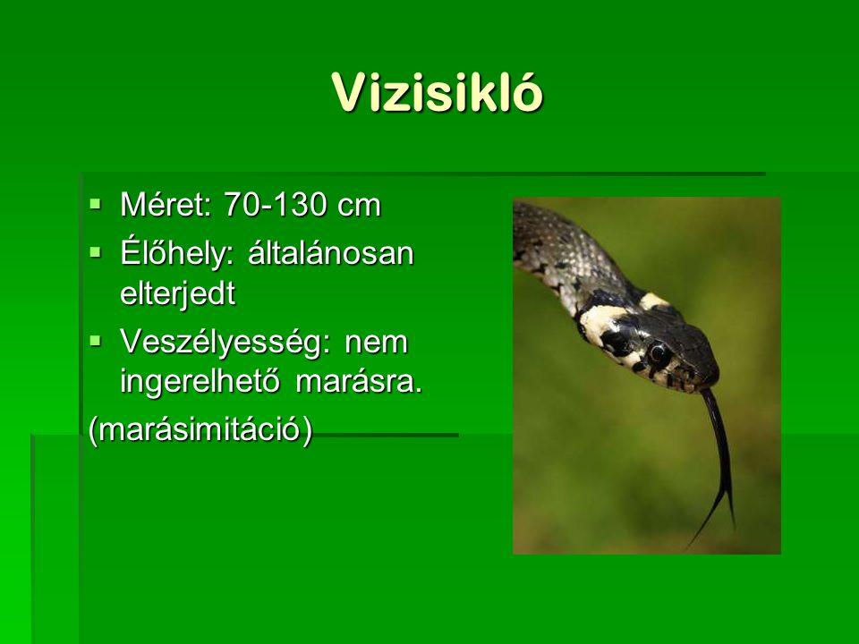 Vizisikló  Méret: 70-130 cm  Élőhely: általánosan elterjedt  Veszélyesség: nem ingerelhető marásra.