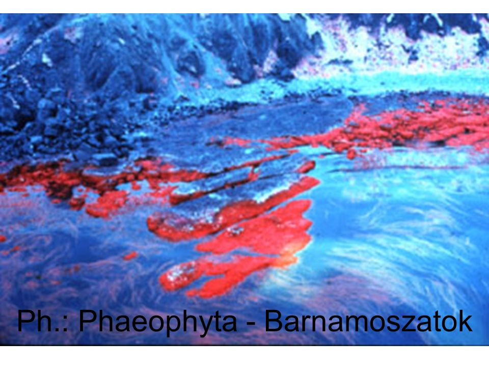 Ph.: Phaeophyta - Barnamoszatok