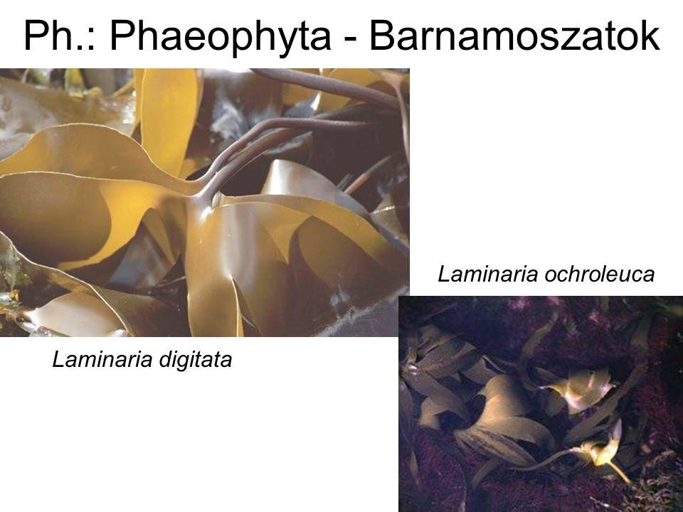 Laminaria digitata Laminaria ochroleuca