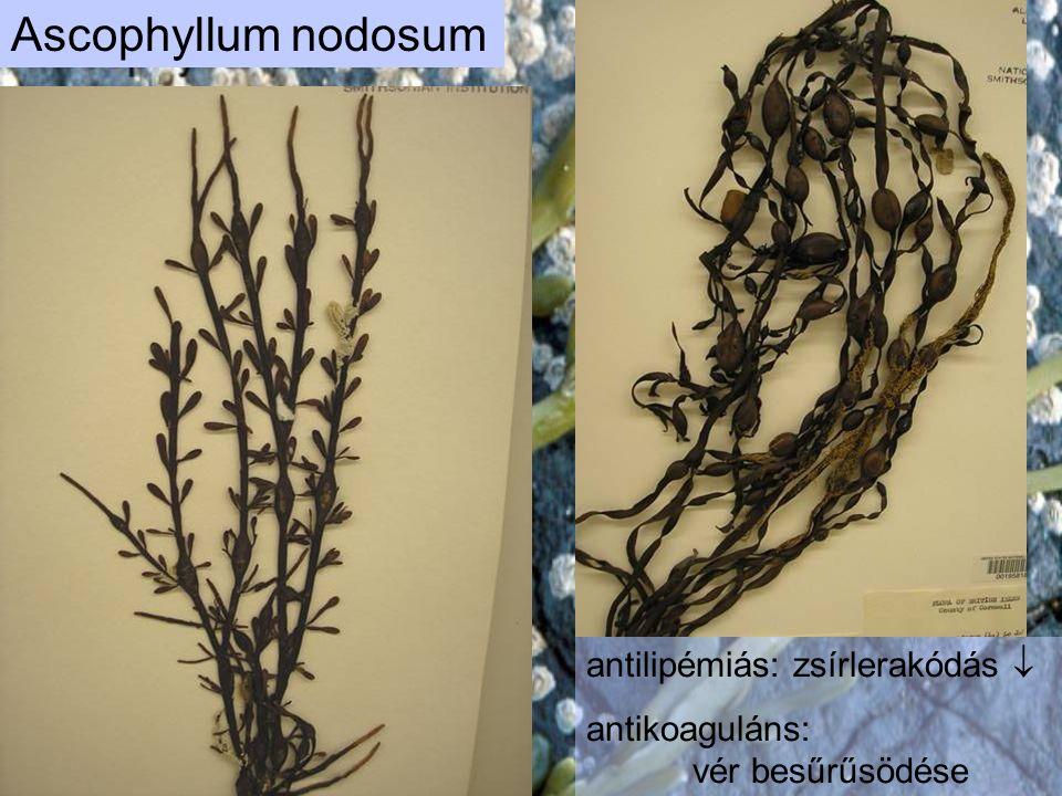 Ascophyllum nodosum antilipémiás: zsírlerakódás  antikoaguláns: vér besűrűsödése ellen hat