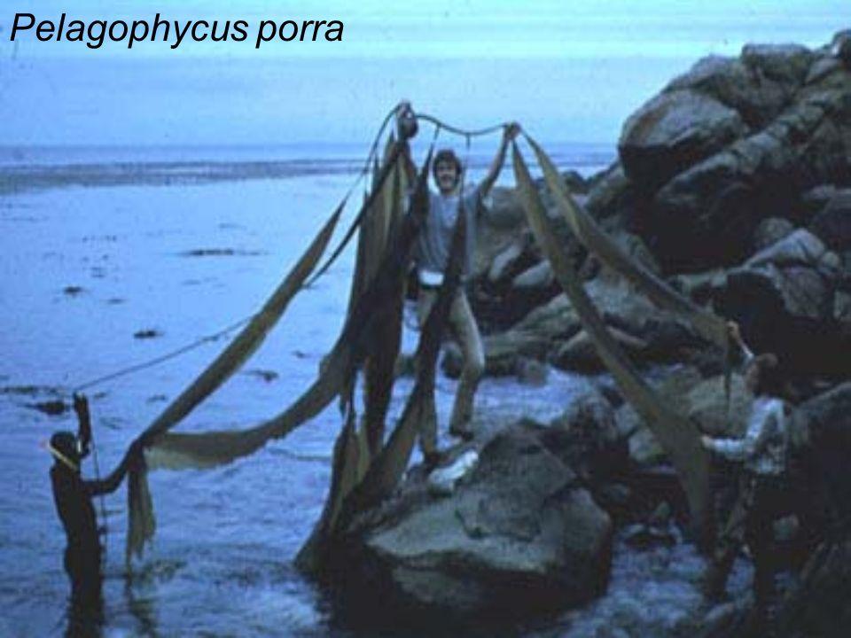 Pelagophycus porra