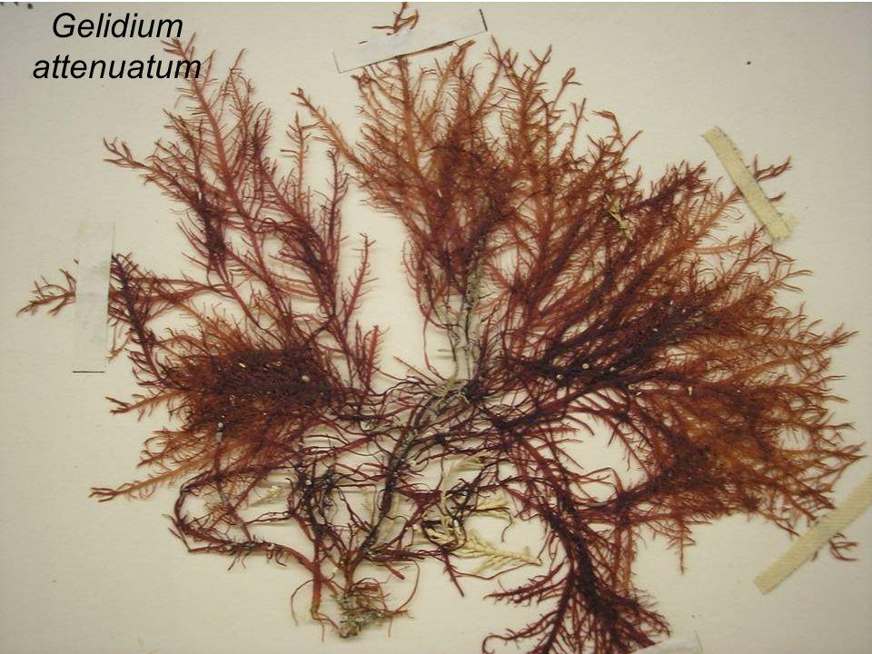 Gelidium attenuatum