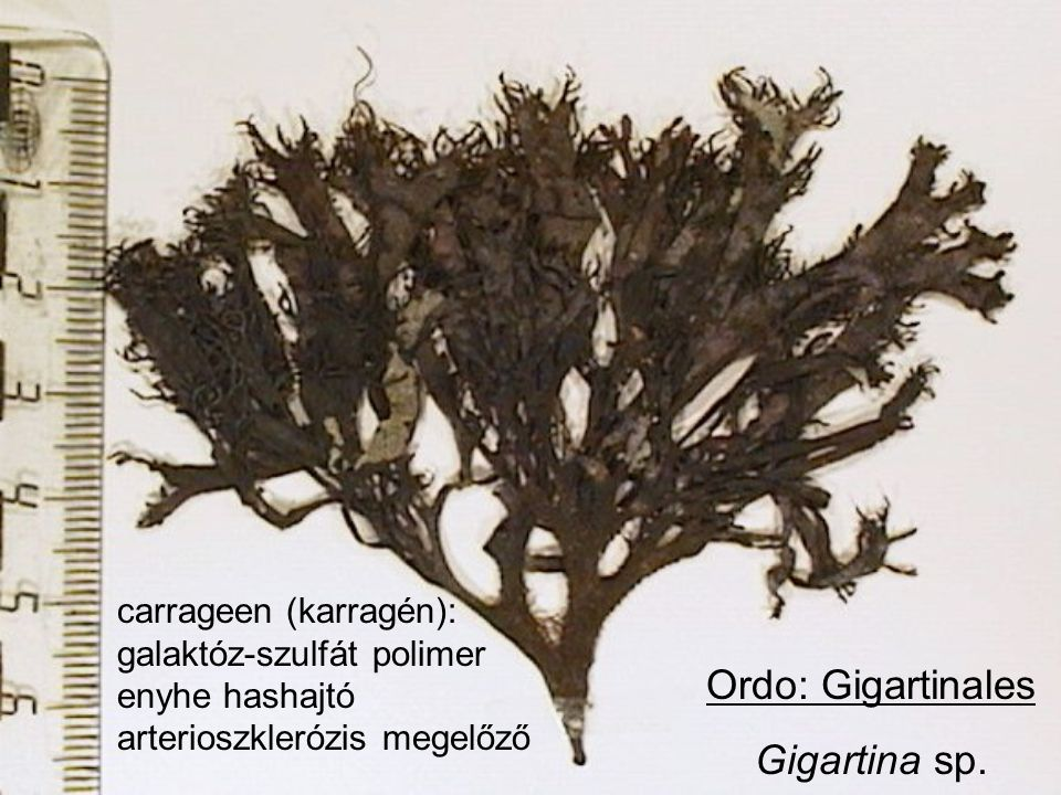 Ordo: Gigartinales Gigartina sp.
