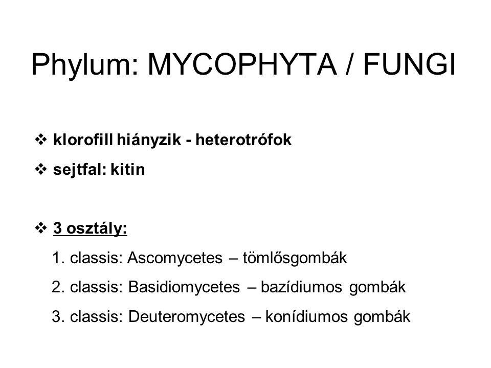 Phylum: MYCOPHYTA / FUNGI  klorofill hiányzik - heterotrófok  sejtfal: kitin  3 osztály: 1.