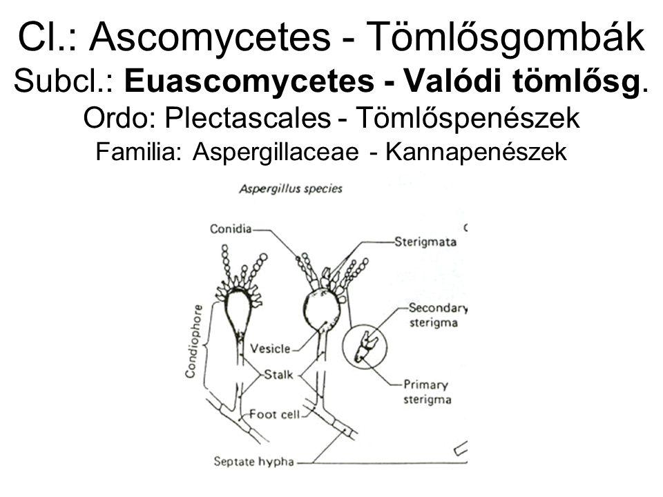 Cl.: Ascomycetes - Tömlősgombák Subcl.: Euascomycetes - Valódi tömlősg.