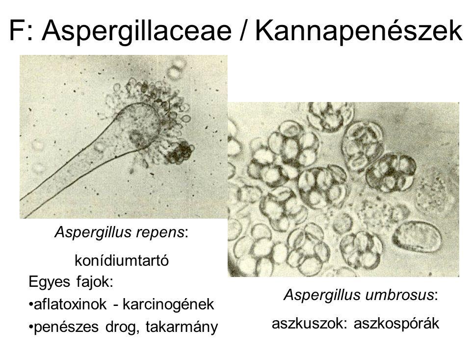 F: Aspergillaceae / Kannapenészek Aspergillus umbrosus: aszkuszok: aszkospórák Aspergillus repens: konídiumtartó Egyes fajok: aflatoxinok - karcinogének penészes drog, takarmány