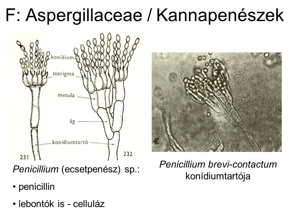 F: Aspergillaceae / Kannapenészek Penicillium brevi-contactum konídiumtartója Penicillium (ecsetpenész) sp.: penicillin lebontók is - celluláz