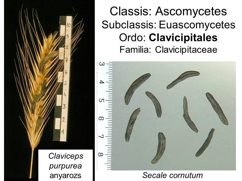 Classis: Ascomycetes Subclassis: Euascomycetes Ordo: Clavicipitales Familia: Clavicipitaceae Claviceps purpurea anyarozs Secale cornutum